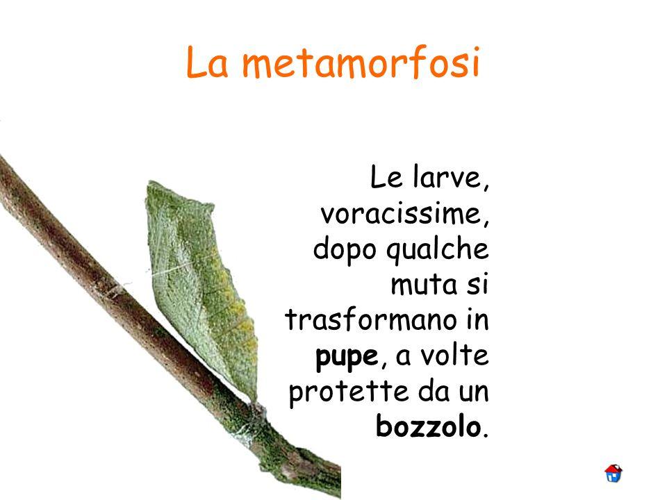 La metamorfosi Dal bozzolo si libera linsetto alato che presto sarà pronto per laccoppiamento e deporre le uova.