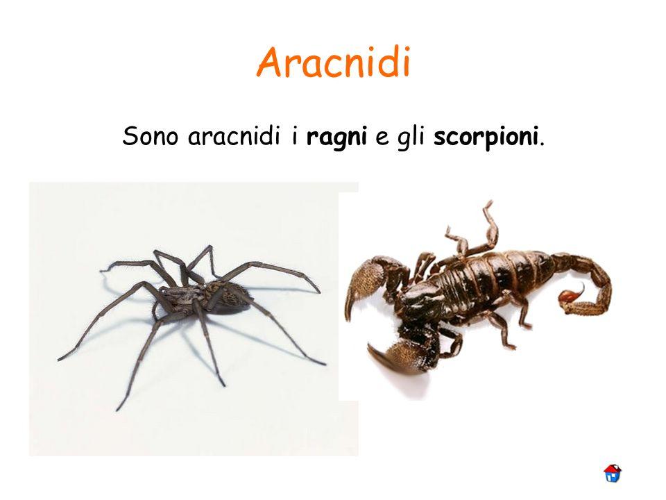 Aracnidi Sono aracnidi i ragni e gli scorpioni.