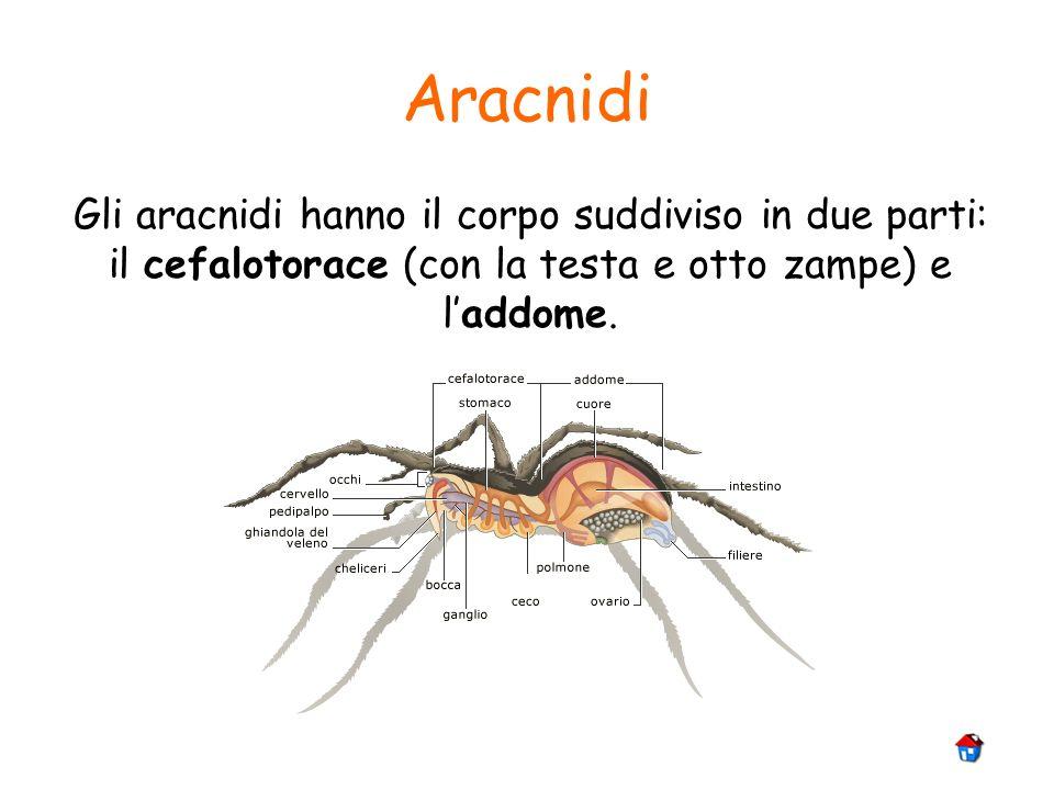 Aracnidi Gli aracnidi hanno il corpo suddiviso in due parti: il cefalotorace (con la testa e otto zampe) e laddome.