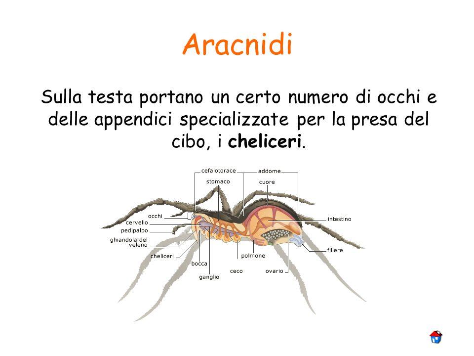 Aracnidi Sulla testa portano un certo numero di occhi e delle appendici specializzate per la presa del cibo, i cheliceri.