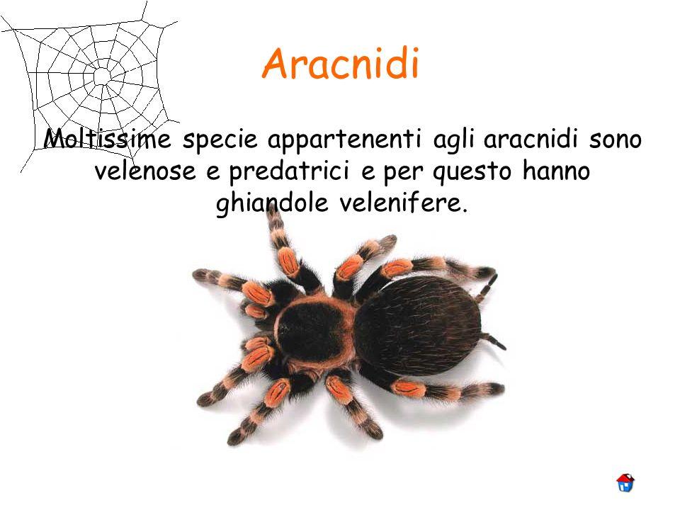 Aracnidi Moltissime specie appartenenti agli aracnidi sono velenose e predatrici e per questo hanno ghiandole velenifere.