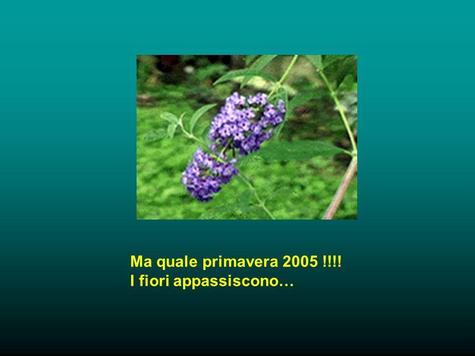 Ma quale primavera 2005 !!!! I fiori appassiscono…
