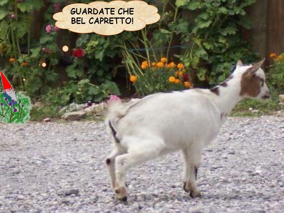 GUARDATE CHE BEL CAPRETTO!