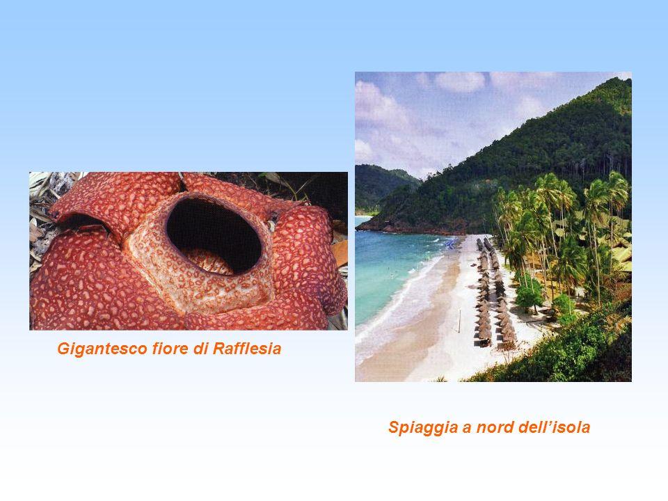 Gigantesco fiore di Rafflesia Spiaggia a nord dellisola