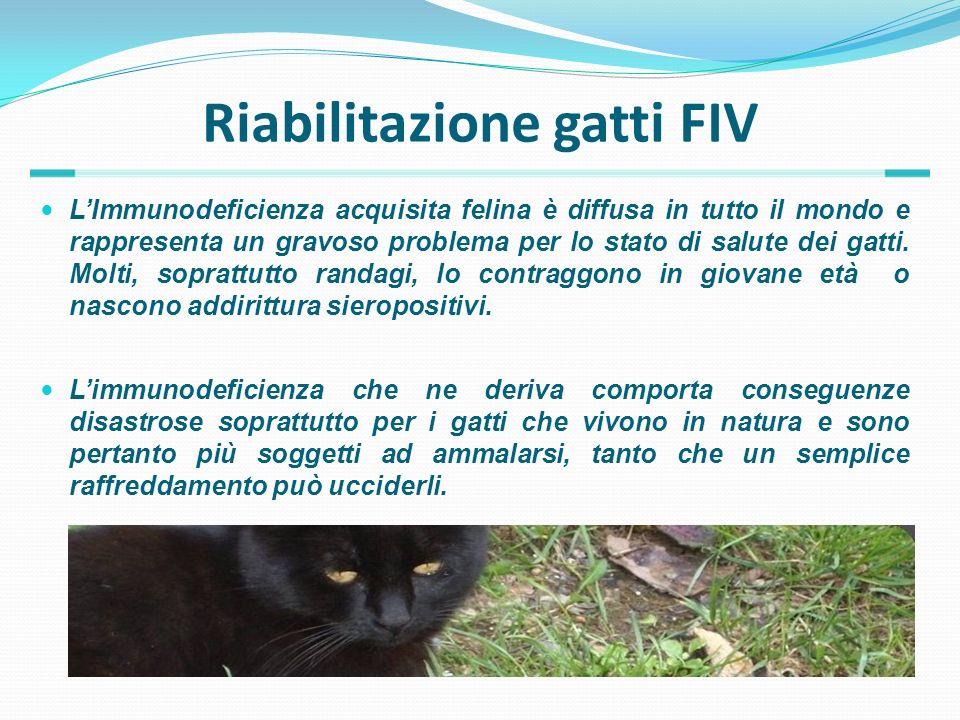 Riabilitazione gatti FIV LImmunodeficienza acquisita felina è diffusa in tutto il mondo e rappresenta un gravoso problema per lo stato di salute dei g