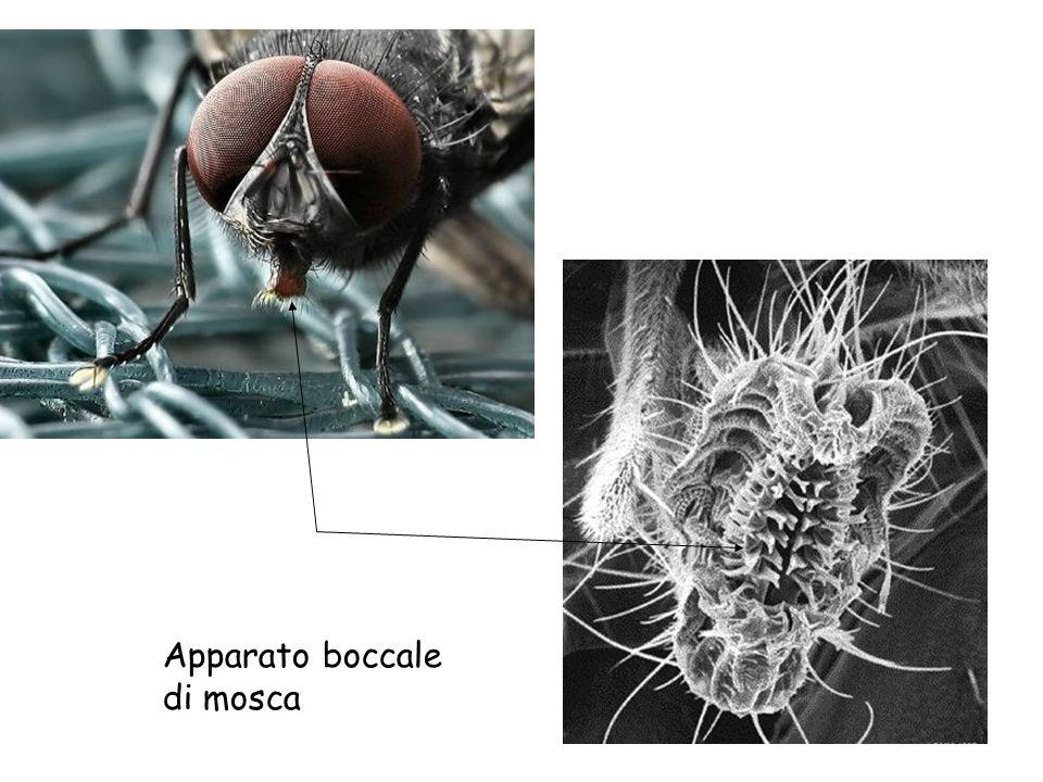 Apparato boccale di mosca