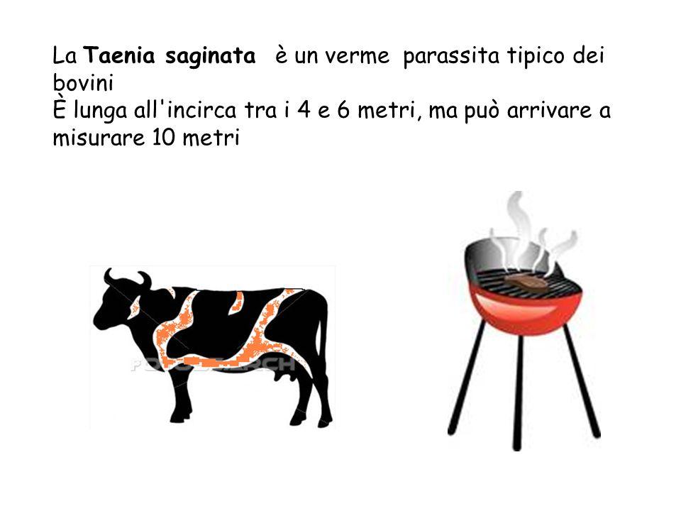 La Taenia saginata è un verme parassita tipico dei bovini È lunga all'incirca tra i 4 e 6 metri, ma può arrivare a misurare 10 metri