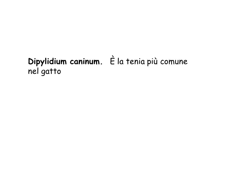 Dipylidium caninum. È la tenia più comune nel gatto