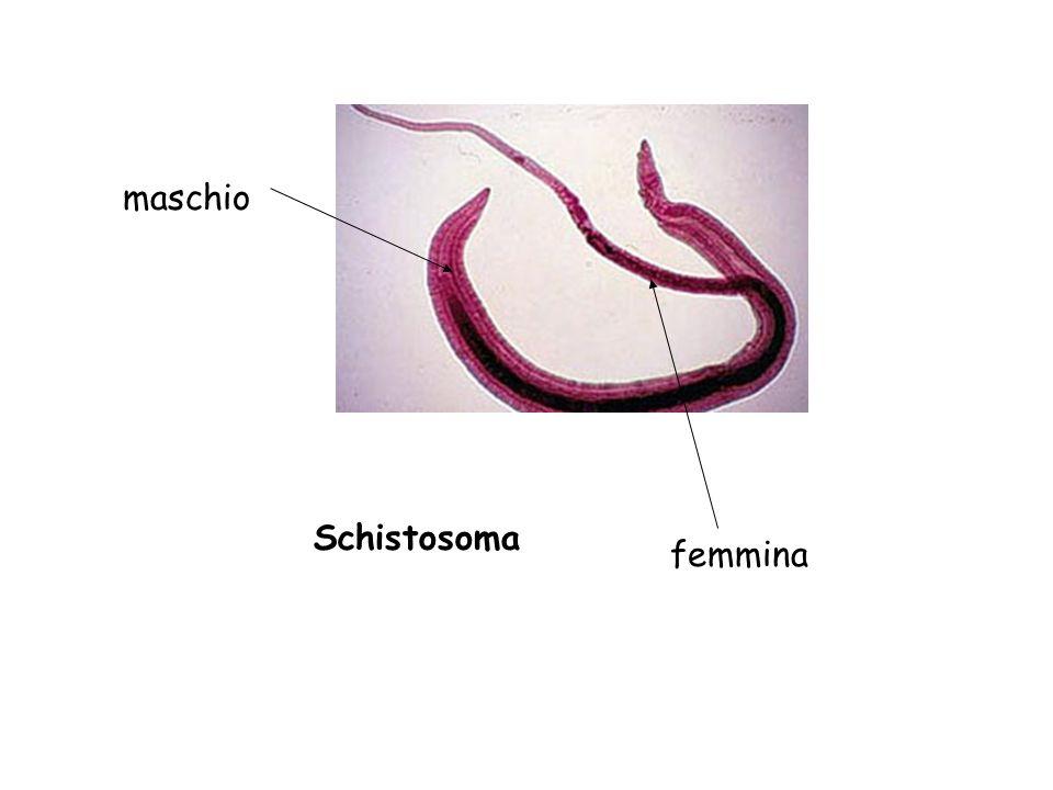 Schistosoma maschio femmina