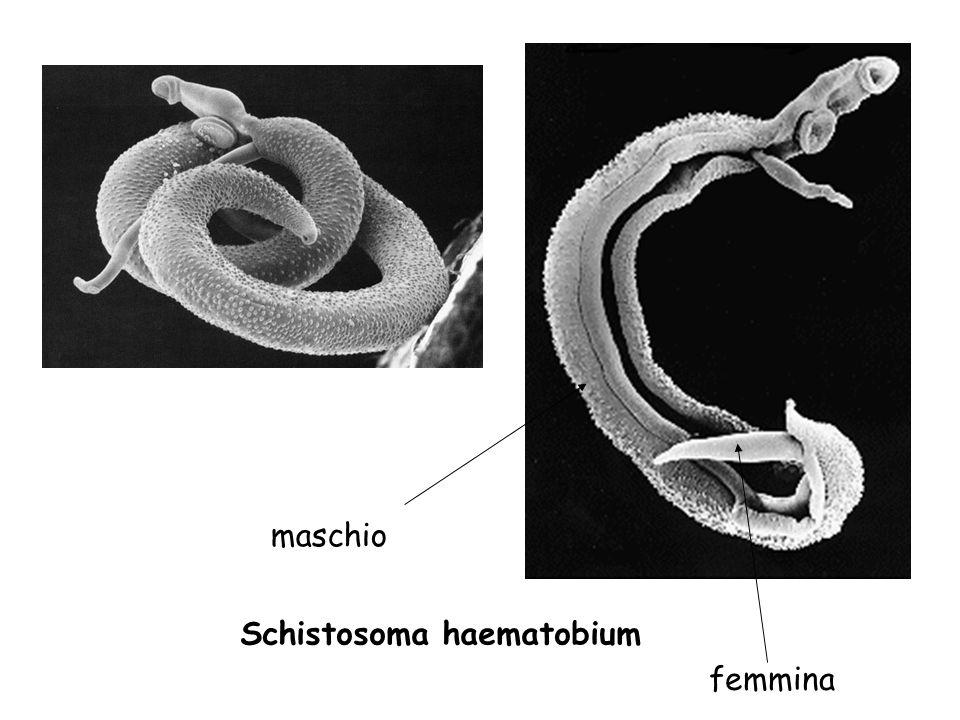 Schistosoma haematobium maschio femmina