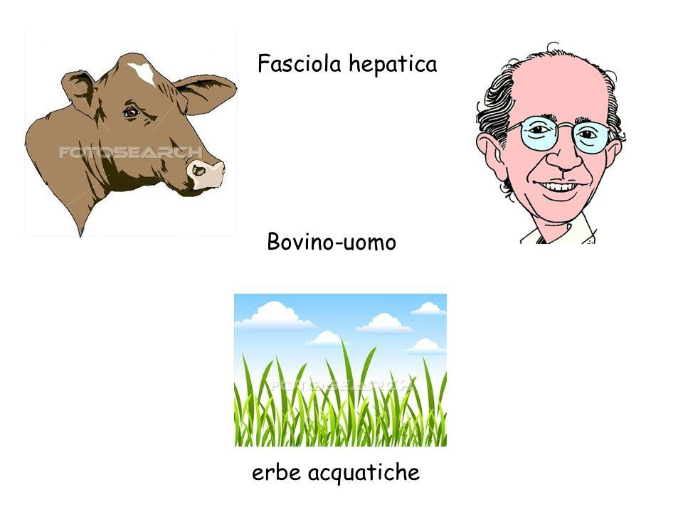 Bovino-uomo erbe acquatiche Fasciola hepatica