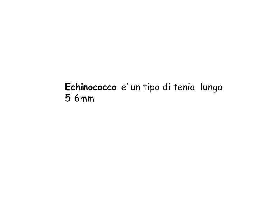 Echinococco e un tipo di tenia lunga 5-6mm