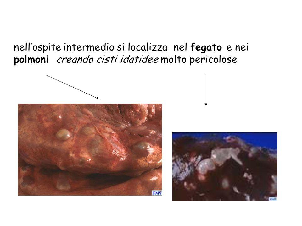 nellospite intermedio si localizza nel fegato e nei polmoni creando cisti idatidee molto pericolose