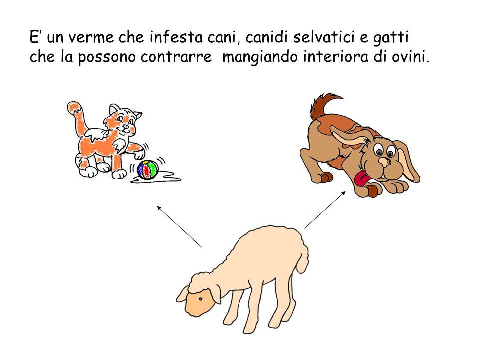E un verme che infesta cani, canidi selvatici e gatti che la possono contrarre mangiando interiora di ovini.