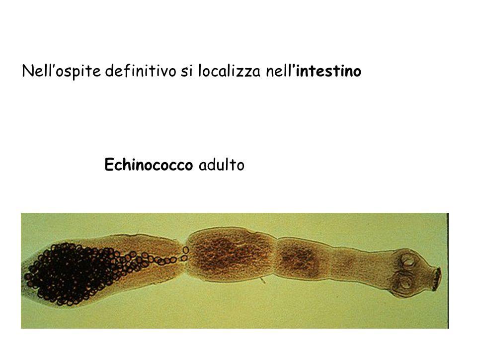Echinococco adulto Nellospite definitivo si localizza nellintestino