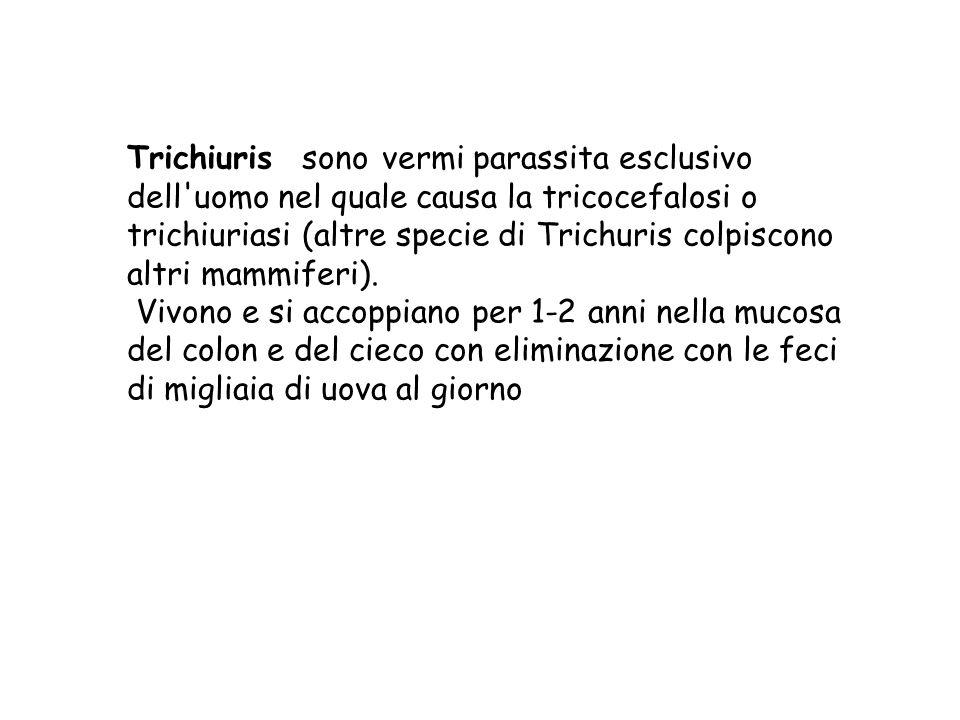 Trichiuris sono vermi parassita esclusivo dell'uomo nel quale causa la tricocefalosi o trichiuriasi (altre specie di Trichuris colpiscono altri mammif