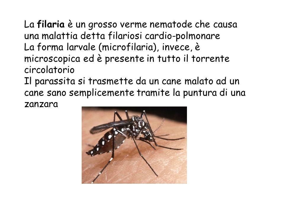 La filaria è un grosso verme nematode che causa una malattia detta filariosi cardio-polmonare La forma larvale (microfilaria), invece, è microscopica