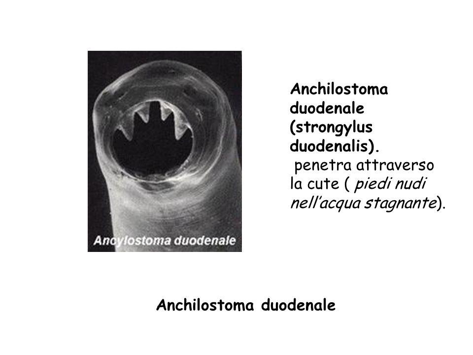 Anchilostoma duodenale Anchilostoma duodenale (strongylus duodenalis). penetra attraverso la cute ( piedi nudi nellacqua stagnante).
