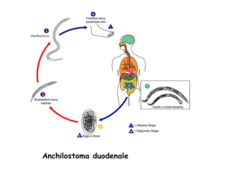 Anchilostoma duodenale