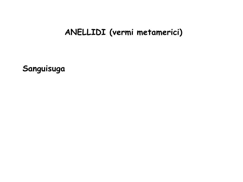 ANELLIDI (vermi metamerici) Sanguisuga