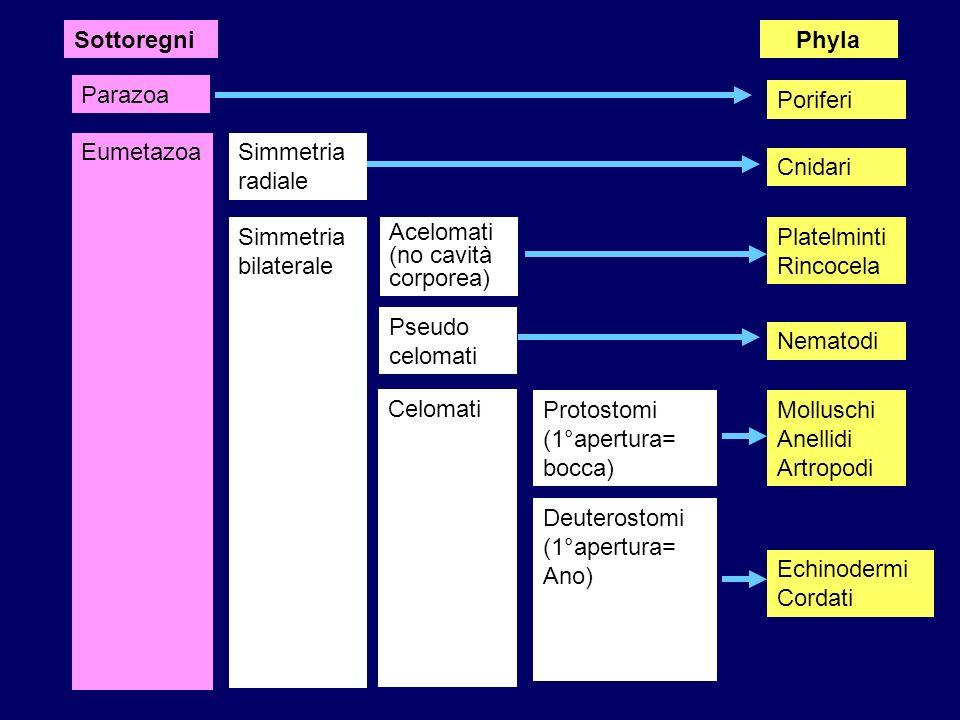Parazoa EumetazoaSimmetria radiale Simmetria bilaterale Acelomati (no cavità corporea) Pseudo celomati Celomati Protostomi (1°apertura= bocca) Deutero