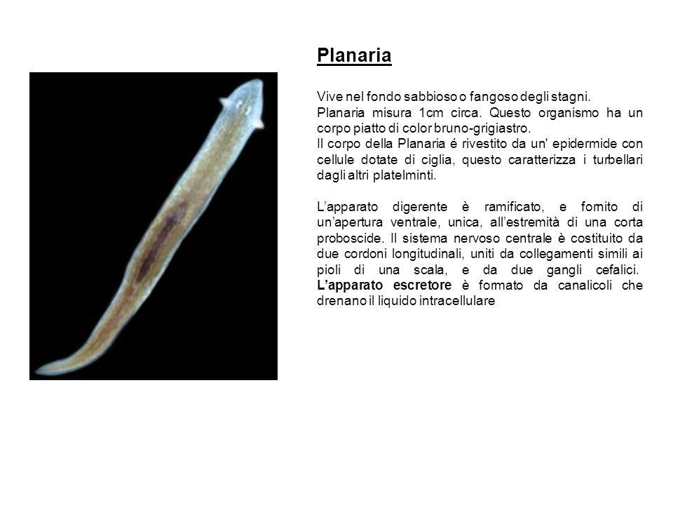 Planaria Vive nel fondo sabbioso o fangoso degli stagni. Planaria misura 1cm circa. Questo organismo ha un corpo piatto di color bruno-grigiastro. Il