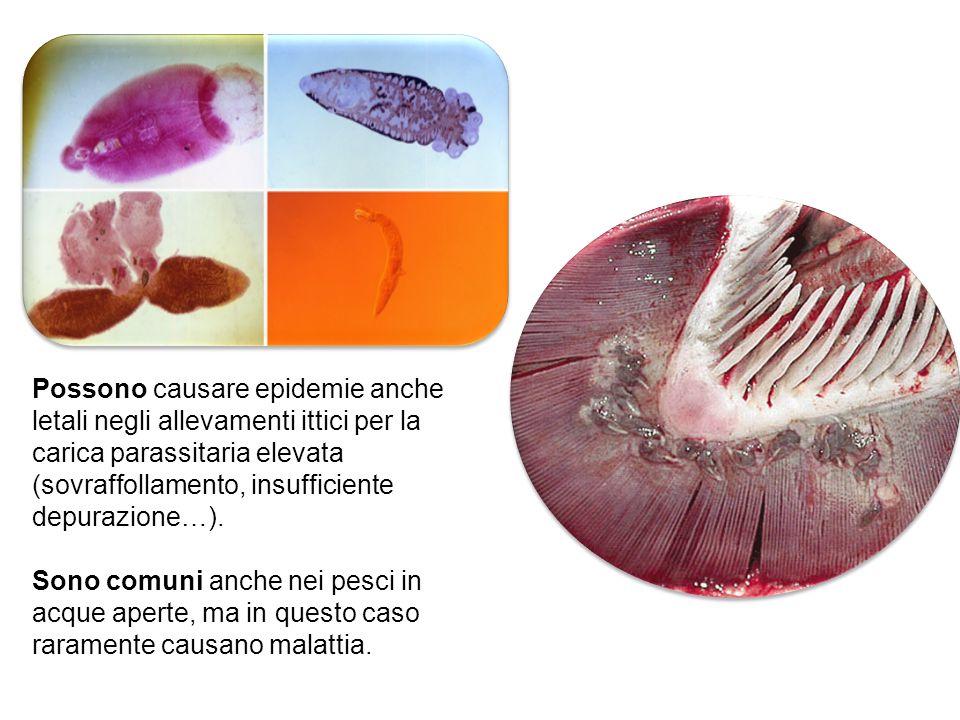 Possono causare epidemie anche letali negli allevamenti ittici per la carica parassitaria elevata (sovraffollamento, insufficiente depurazione…). Sono