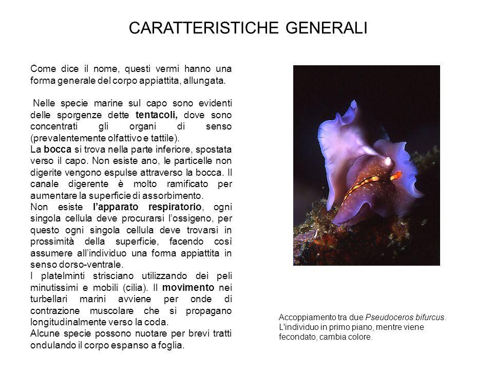 Come dice il nome, questi vermi hanno una forma generale del corpo appiattita, allungata. Nelle specie marine sul capo sono evidenti delle sporgenze d