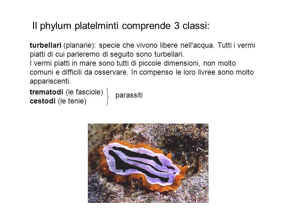 turbellari (planarie): specie che vivono libere nell'acqua. Tutti i vermi piatti di cui parleremo di seguito sono turbellari. I vermi piatti in mare s