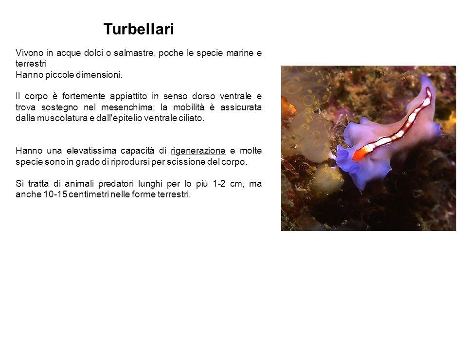 Turbellari Vivono in acque dolci o salmastre, poche le specie marine e terrestri Hanno piccole dimensioni. Il corpo è fortemente appiattito in senso d