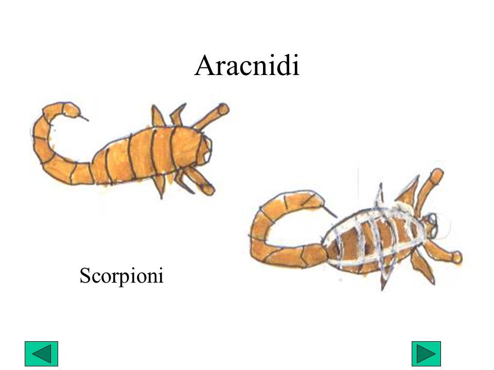 Aracnidi Scorpioni
