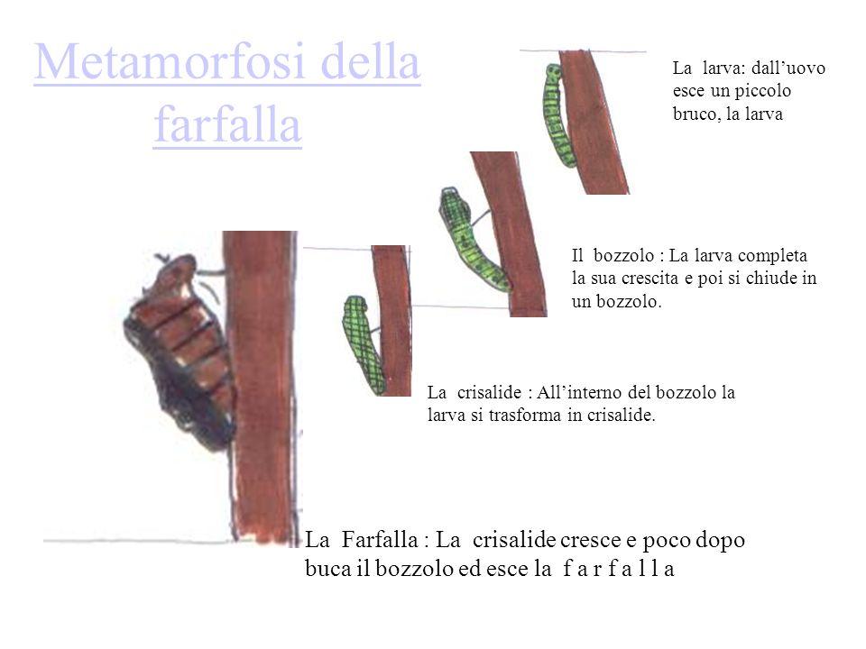 Metamorfosi della farfalla La larva: dalluovo esce un piccolo bruco, la larva Il bozzolo : La larva completa la sua crescita e poi si chiude in un boz