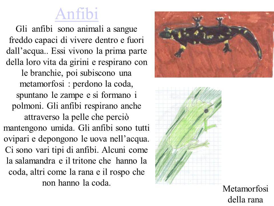 Anfibi Anfibi Gli anfibi sono animali a sangue freddo capaci di vivere dentro e fuori dallacqua.. Essi vivono la prima parte della loro vita da girini
