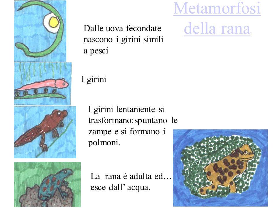 Metamorfosi della rana Dalle uova fecondate nascono i girini simili a pesci I girini I girini lentamente si trasformano:spuntano le zampe e si formano