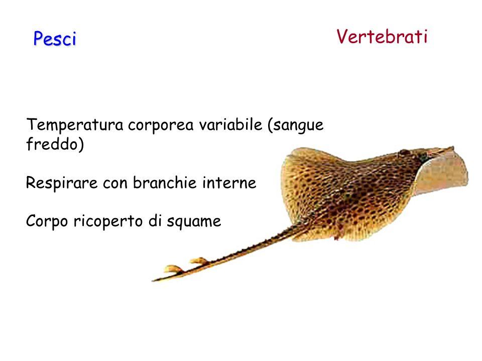 Temperatura corporea variabile (sangue freddo) Respirare con branchie interne Corpo ricoperto di squame Pesci Vertebrati