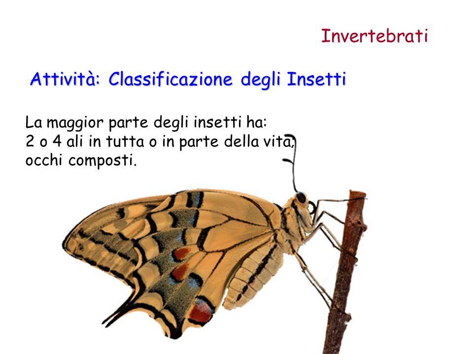 La maggior parte degli insetti ha: 2 o 4 ali in tutta o in parte della vita; occhi composti. Attività: Classificazione degli Insetti Invertebrati