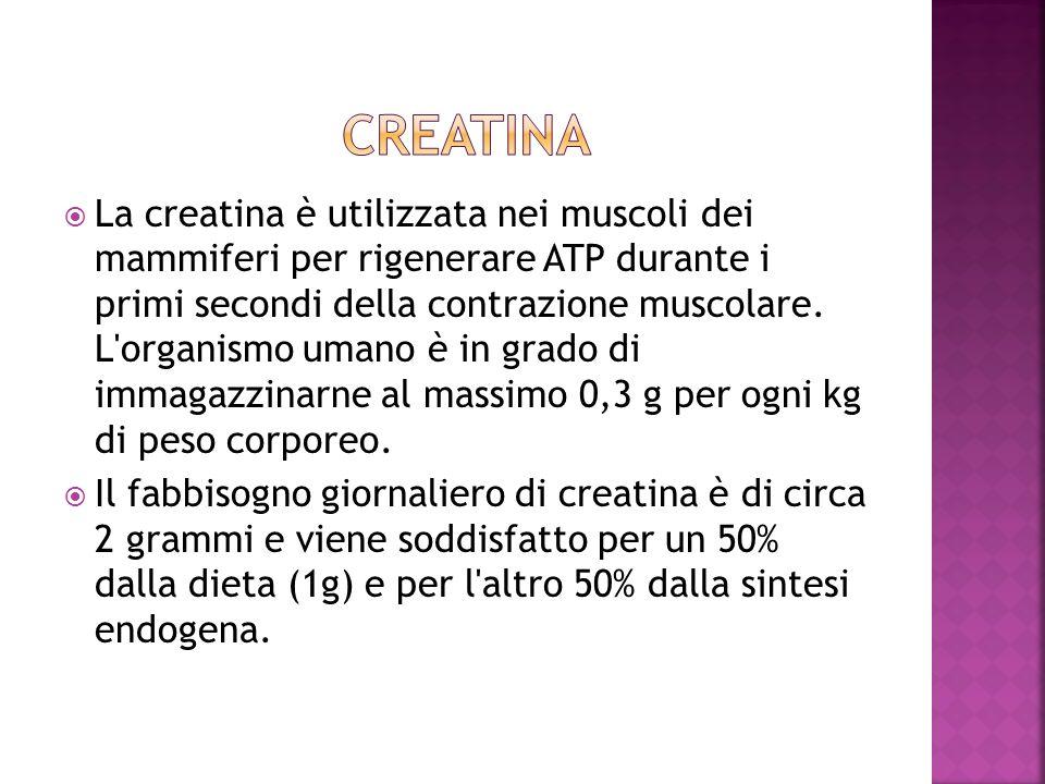 La creatina è utilizzata nei muscoli dei mammiferi per rigenerare ATP durante i primi secondi della contrazione muscolare. L'organismo umano è in grad