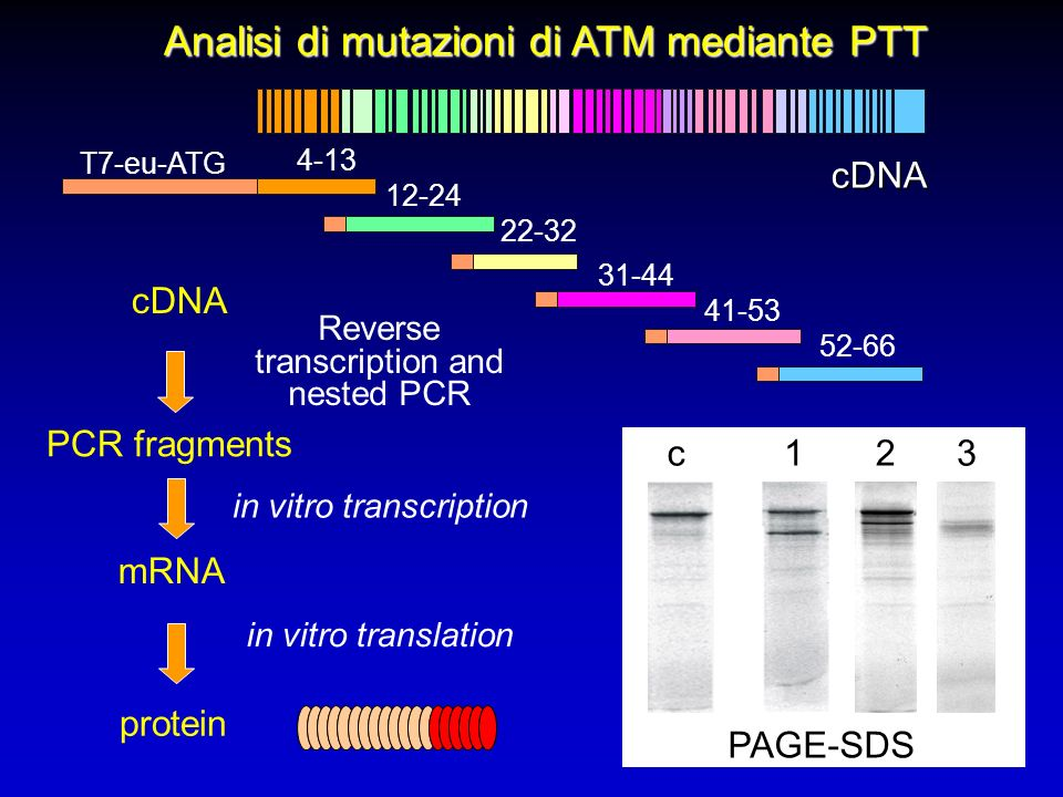 Analisi di mutazioni di ATM mediante PTT 4-13 12-24 22-32 31-44 41-53 52-66 mRNA cDNA PCR fragments protein in vitro transcription in vitro translation T7-eu-ATG C C c123 PAGE-SDS cDNA Reverse transcription and nested PCR