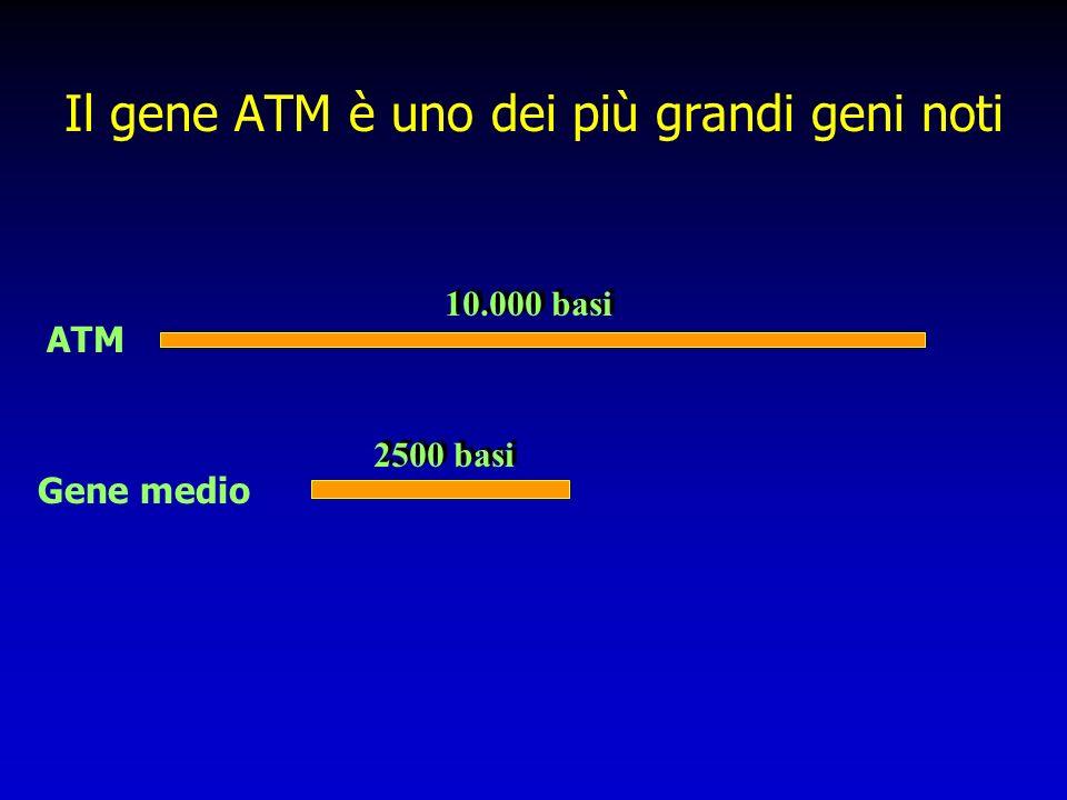 Il gene ATM è uno dei più grandi geni noti ATM Gene medio 2500 basi 10.000 basi