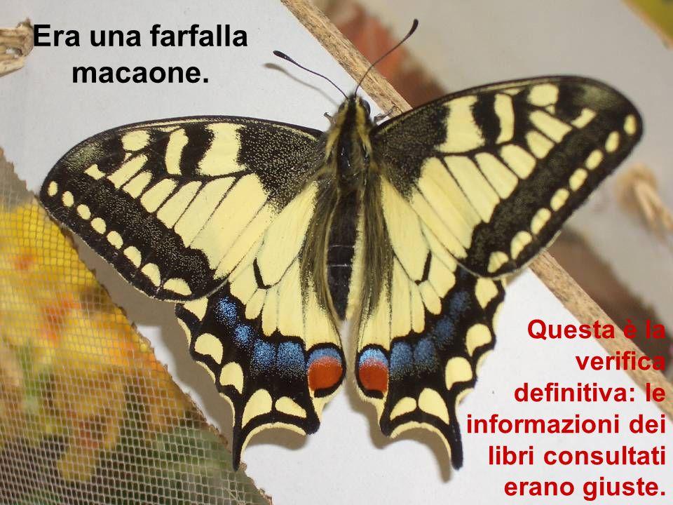 Era una farfalla macaone. Questa è la verifica definitiva: le informazioni dei libri consultati erano giuste.