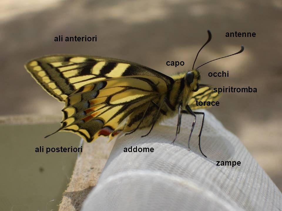 antenne occhi capo ali anteriori ali posteriori spiritromba torace zampe addome