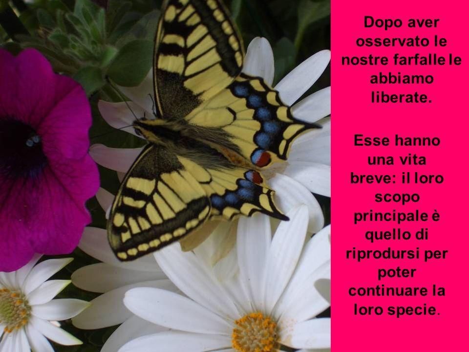 Dopo aver osservato le nostre farfalle le abbiamo liberate. Esse hanno una vita breve: il loro scopo principale è quello di riprodursi per poter conti