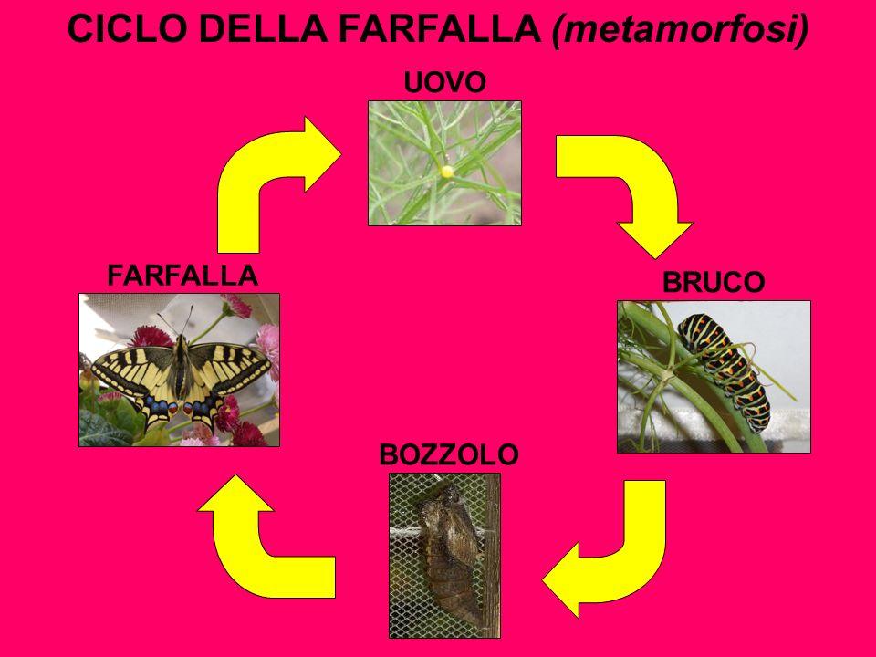 CICLO DELLA FARFALLA (metamorfosi) UOVO BRUCO BOZZOLO FARFALLA