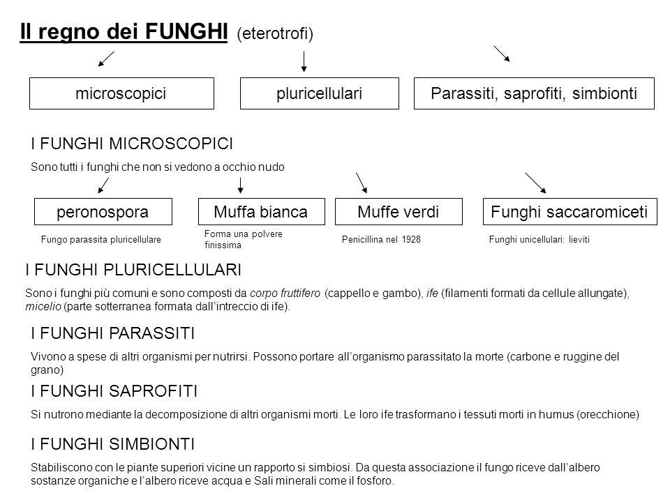 Il regno dei FUNGHI (eterotrofi) microscopicipluricellulariParassiti, saprofiti, simbionti I FUNGHI MICROSCOPICI Sono tutti i funghi che non si vedono a occhio nudo peronosporaMuffa biancaMuffe verdiFunghi saccaromiceti Fungo parassita pluricellulare Forma una polvere finissima Penicillina nel 1928Funghi unicellulari: lieviti I FUNGHI PLURICELLULARI Sono i funghi più comuni e sono composti da corpo fruttifero (cappello e gambo), ife (filamenti formati da cellule allungate), micelio (parte sotterranea formata dallintreccio di ife).