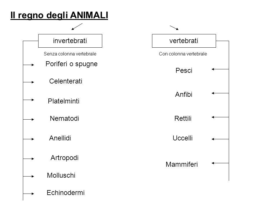 Il regno degli ANIMALI invertebrativertebrati Senza colonna vertebraleCon colonna vertebrale Poriferi o spugne Celenterati Platelminti Nematodi Anellidi Artropodi Molluschi Echinodermi Pesci Anfibi Rettili Uccelli Mammiferi