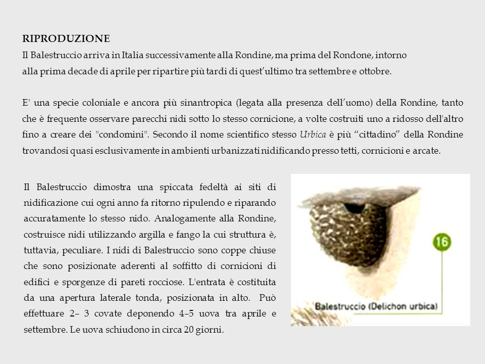 RIPRODUZIONE Il Balestruccio arriva in Italia successivamente alla Rondine, ma prima del Rondone, intorno alla prima decade di aprile per ripartire più tardi di questultimo tra settembre e ottobre.