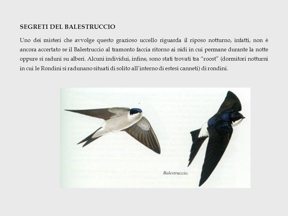 SEGRETI DEL BALESTRUCCIO Uno dei misteri che avvolge questo grazioso uccello riguarda il riposo notturno, infatti, non è ancora accertato se il Balest