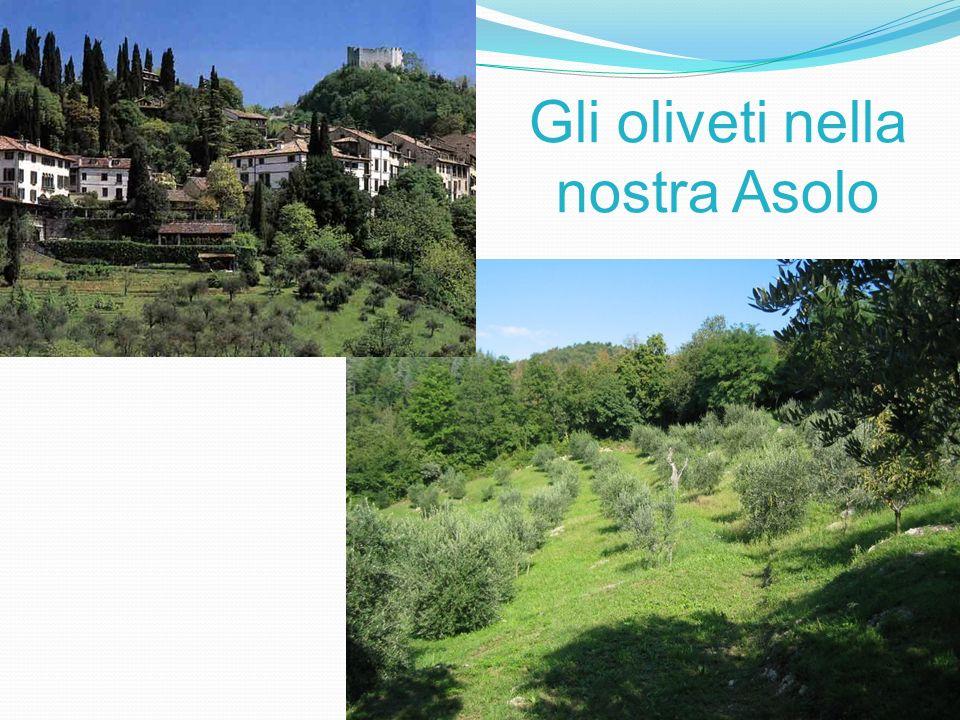 Gli oliveti nella nostra Asolo