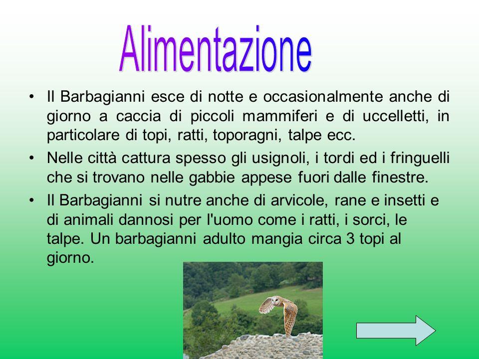 Il Barbagianni esce di notte e occasionalmente anche di giorno a caccia di piccoli mammiferi e di uccelletti, in particolare di topi, ratti, toporagni