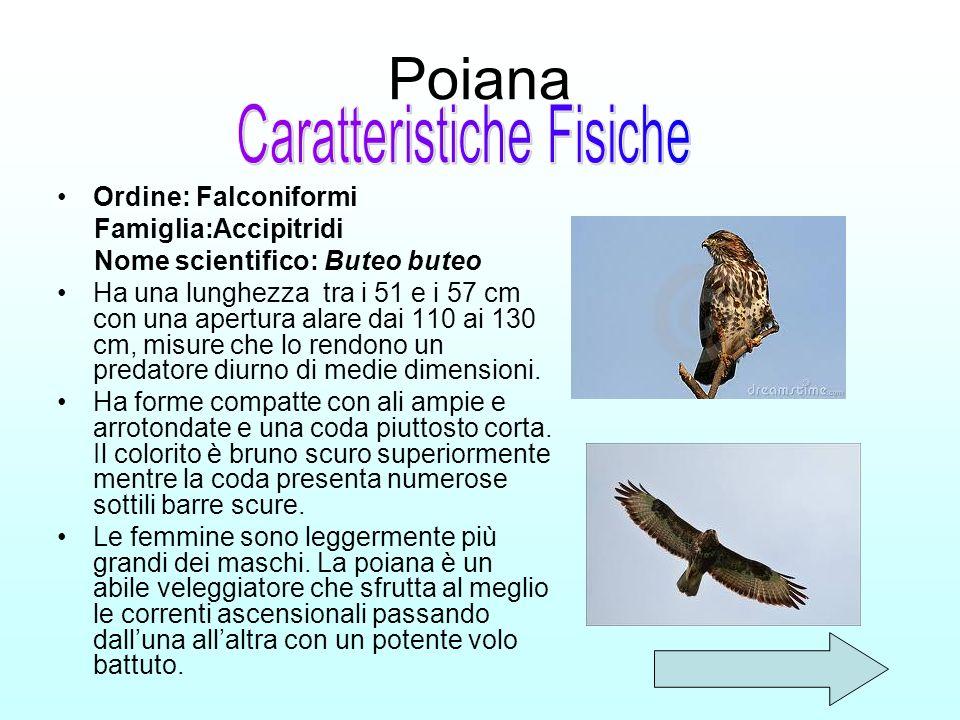 Poiana Ordine: Falconiformi Famiglia:Accipitridi Nome scientifico: Buteo buteo Ha una lunghezza tra i 51 e i 57 cm con una apertura alare dai 110 ai 1